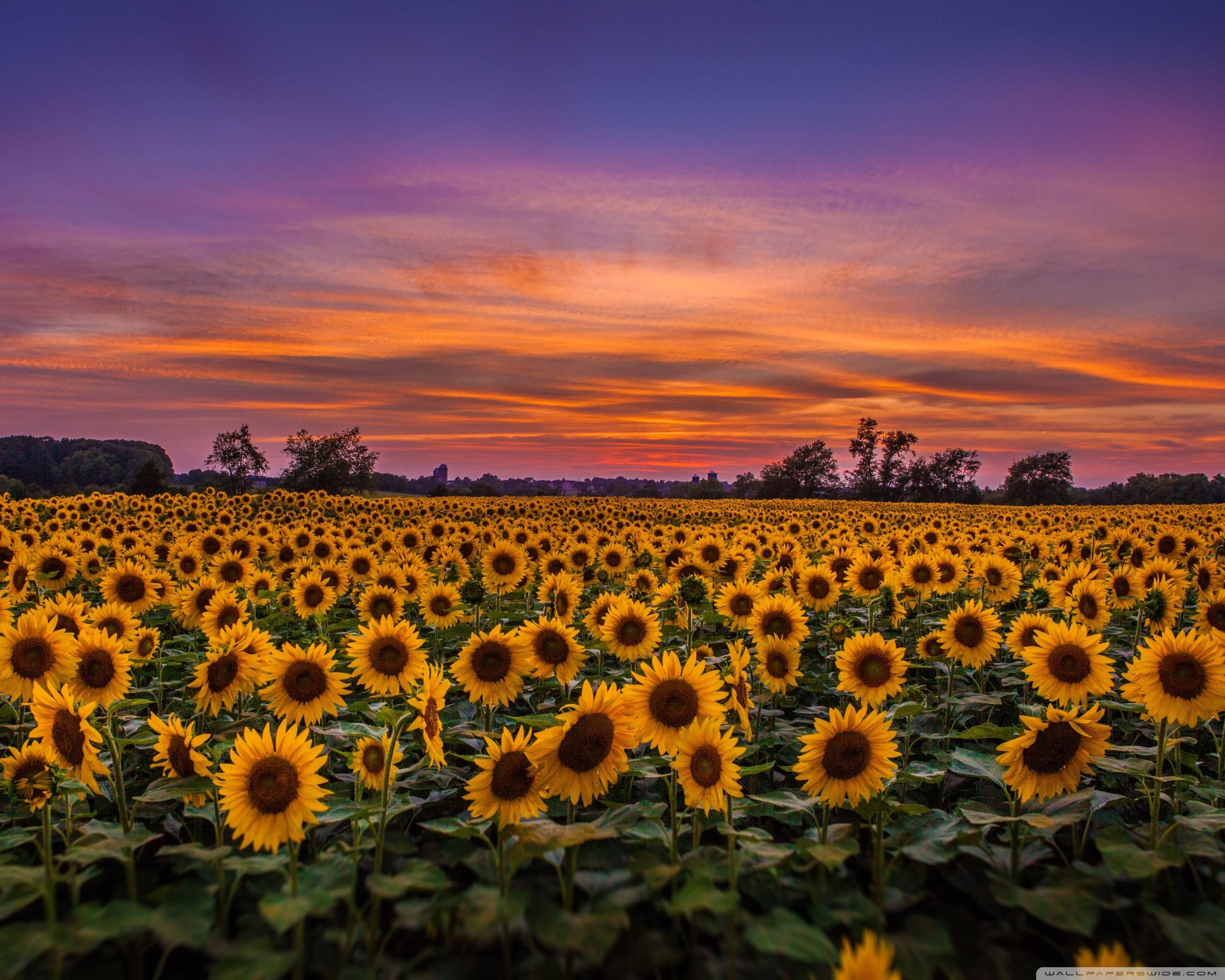 Sunflower Field Iphone Wallpapers 4k Hd Sunflower Field Iphone Backgrounds On Wallpaperbat